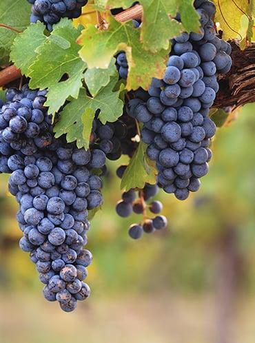 """El vino """"Kosher"""", el elixir ancestral que se ha puesto de moda"""