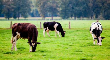 ¿Por qué las vacas pueden prevenir incendios?